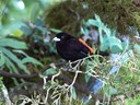 Cherrie's Tanager -male