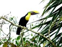 Toucan - Chestnut Mandibled