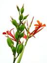 Orange Flower Green Pod