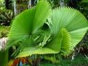 Swirling Skirt Palm
