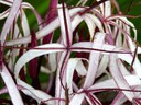 White Flower with Purple Stripes