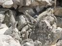 Iguanas at Paamul