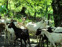 A herd of goats on the way to Boca del Drago